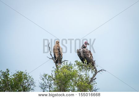 Tawny Eagle And Lappet-faced Vulture In A Tree.