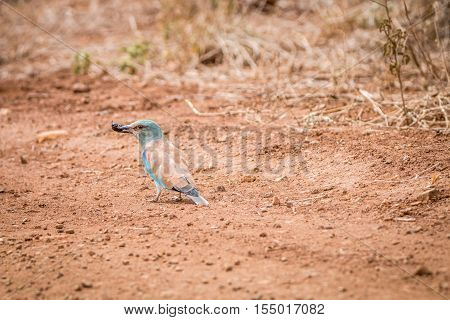 European Roller With A Dung Beetle Kill.