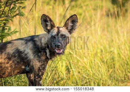 Starring African Wild Dog.