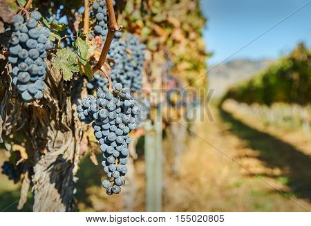 Okanagan Grapes Ready to Harvest. Ripe grapes hang on the vine ready to be harvested. Okanagan Valley near Osoyoos, British Columbia, Canada.