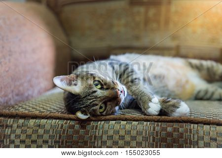 brown eyed cat on vintage sofa in warm tone. select focus