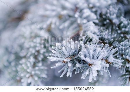 Closeup of frozen coniferous branches as background