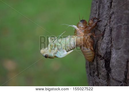 Insect Molting Cicada On Tree In Nature