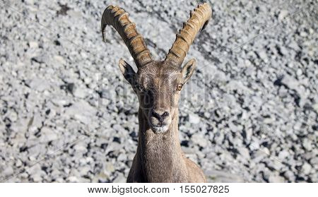 Portrait of a Alpine Ibex in a rocky slope