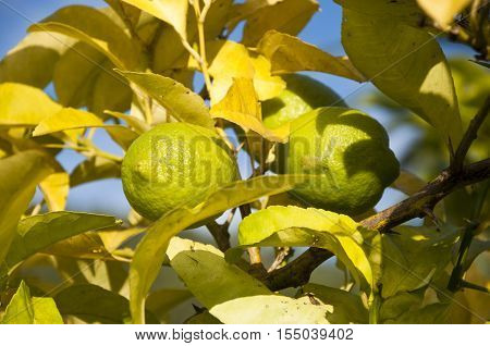 Close up of unripened lemons on a branch