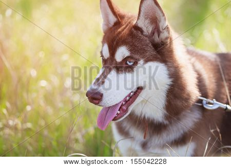 Portrait of heavy breathing Siberian husky dog. Brown fur and bright blue eyes. Cute domestic breed good for family and kids