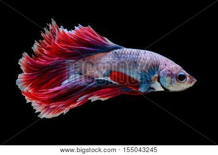 Red and white siamese fighting fish half moon betta fish isolated on black