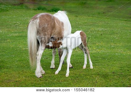 Icelandic horse. Mare feeding her young filly whitch. is only a few days old