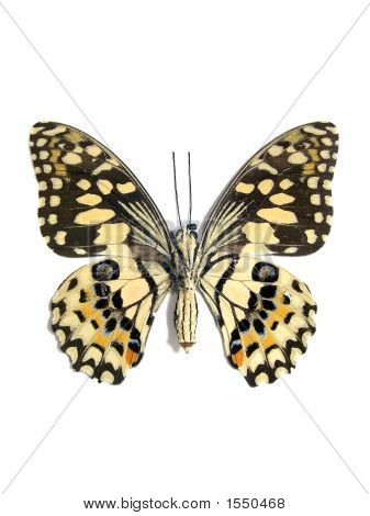 Butterfly (Spot Swordtail)