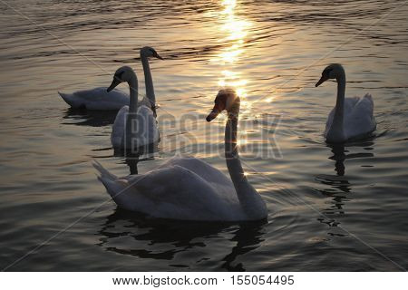 Lake waters glinting sunlight in sunset with swans