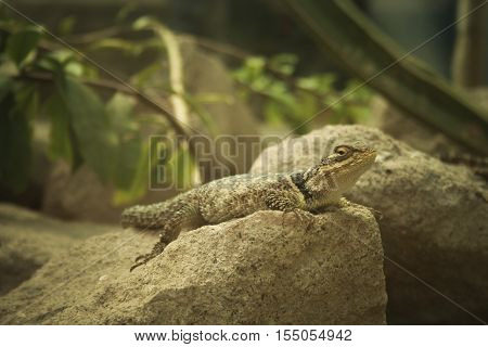 living in a terrarium lizard resting on a rock