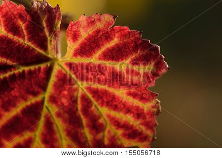 Red Leave Of Vine