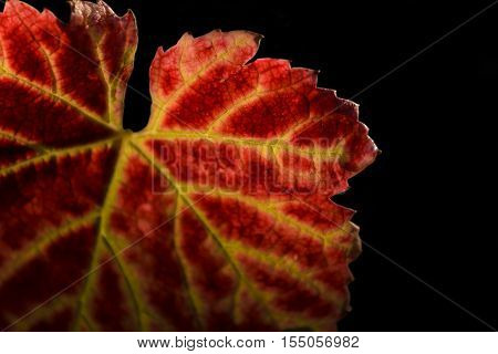 Red Leave Of Vine With A Black Background