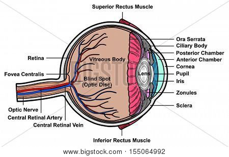 Vector Human Eye Cross Section Anatomy with all parts Anatomical Structure Artery, Vein, Nerve, Muscles, Pupil, Iris, Cornea, Lens, Blind Spot, Retina, Vitreous Ciliary Body, Fovea Centralis, Chambers