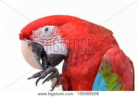 Scarlet Macaws (ara Macao) On White Background.
