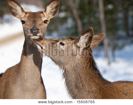 Red deers cuddling in natural environment during winter poster