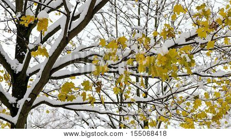 Maple leaves aka acer palmatum in autumn when the first snow fell