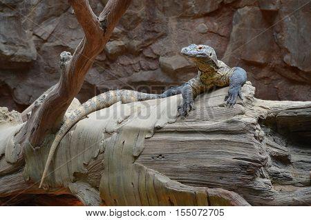 A Komodo dragon resting on a log