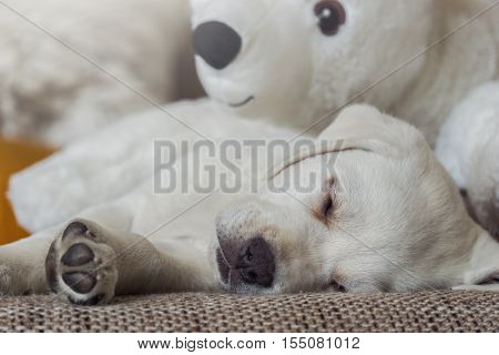 cuddly toy of polar bear and a white labrador puppy cuddle on the couch and sleep