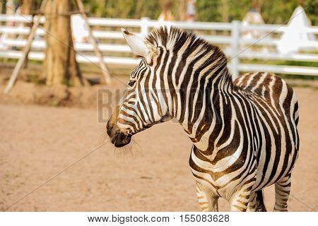 Wild Zebra socialising at zoo in Thailand.