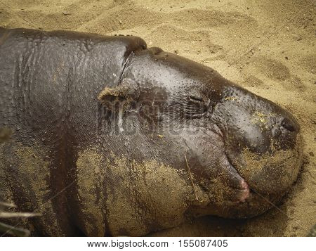 While living in a zoo pygmy hippopotamus, sleep