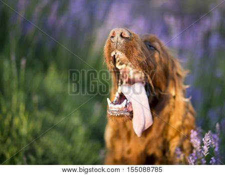 Drooling Irish Setter dog panting in a hot Summer