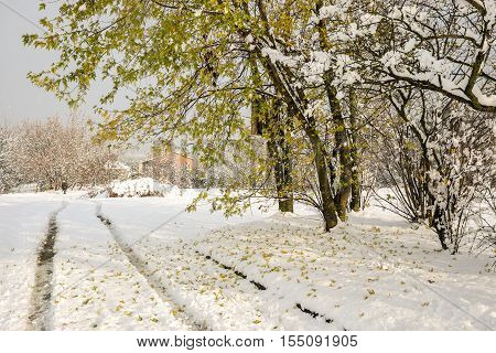 Quercus rubra - Red Oak tree with fallen leaves on snow on a country road