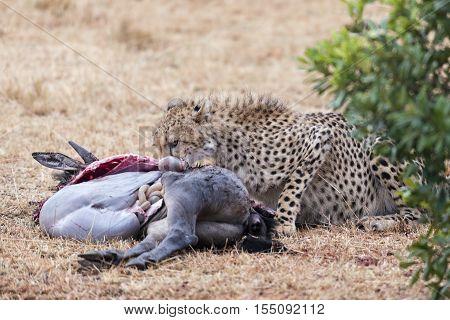 Adult cheetah feasting on bloody kill Masai Mara National Reserve Kenya East Africa