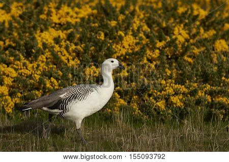 Male Upland Goose (Chloephaga picta leucoptera) walking past flowering gorse on Carcass Island in the Falkland Islands.
