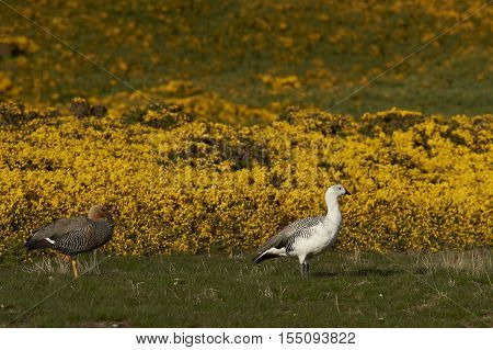 Pair of Upland Geese (Chloephaga picta leucoptera) walking past flowering gorse on Carcass Island in the Falkland Islands.