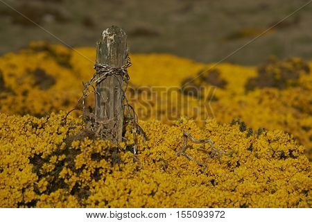Old fence post protruding out of a flowering gorse bush on Carcass Island in the Falkland Islands.