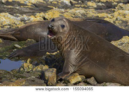 Female Southern Elephant Seals (Mirounga leonina) on the coast of Carcass Island in the Falkland Islands.