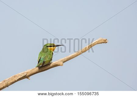 Green Bee-Eater perched on a branch of a tree in Bahrain