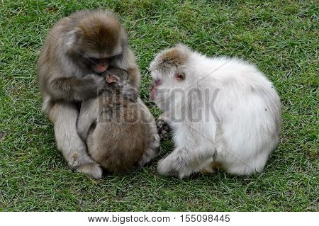 Snow monkey in the green grass during summer