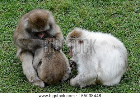 Snow monkeys in the green grass during summer