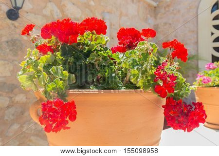 Red Geranium flower in Agia Irini Monastery Crete Greece. Geranium is a genus of 422 species of flowering annual biennial and perennial plants that are commonly known as the cranesbills.