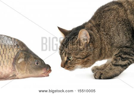 cat and fish isolated on a white