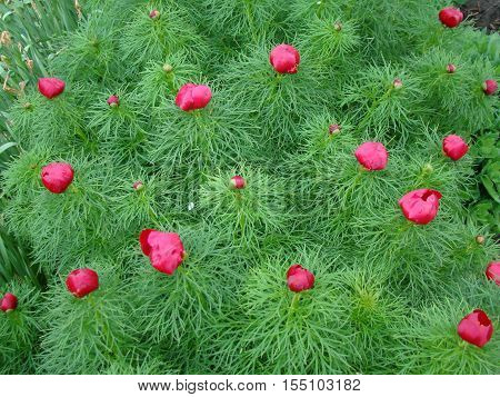 narrow-leaved peony-a kind of rare endangered plants listed in the red book