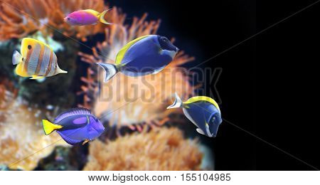 Underwater scene with beautiful tropical fish - hepatus; blue tang. On black background