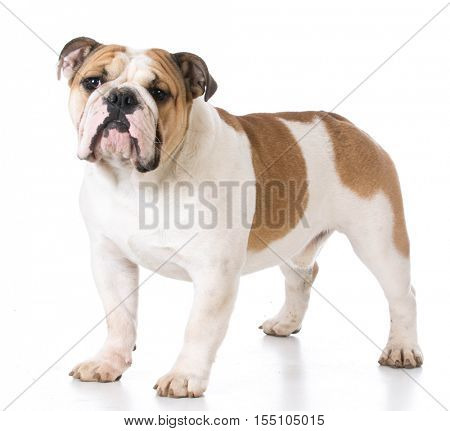 english bulldog standing isolated on white background