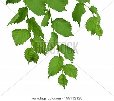 (Ulmus Laevis) Elm Leaves isolate on white background without shadows. Branch with leaves. Close-up. Spring. Summer. Nature in detail.