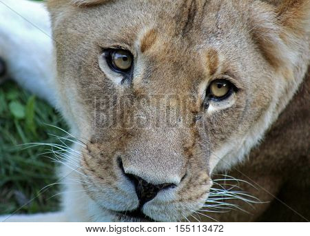 Beautiful lioness in a zoo of Canada