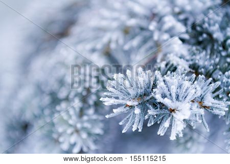 Frozen coniferous branches in white winter as background