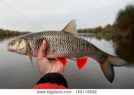 Chub in fisherman's hand, late fall catch
