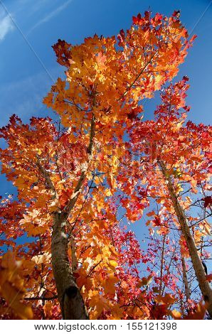 Tall Trunks Of Maples In Autumn Colors - 2