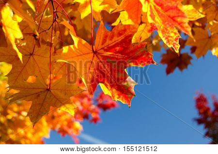Heaps Of Sugar Maple Red And Yellow Leaves  - 3