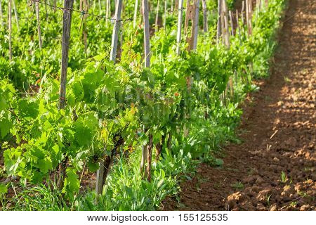Fields of grapes in the summer Tuscany Italy