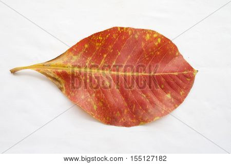 red dried leave in autumn on background white