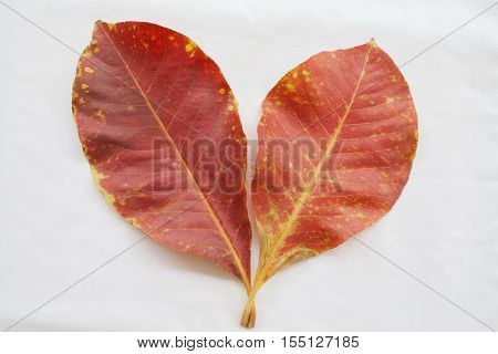 two red dried leave in autumn on background white