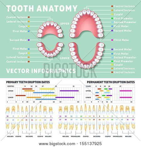 Orthodontist human tooth anatomy vector infographics with teeth diagrams. Medical dental diagram illustration